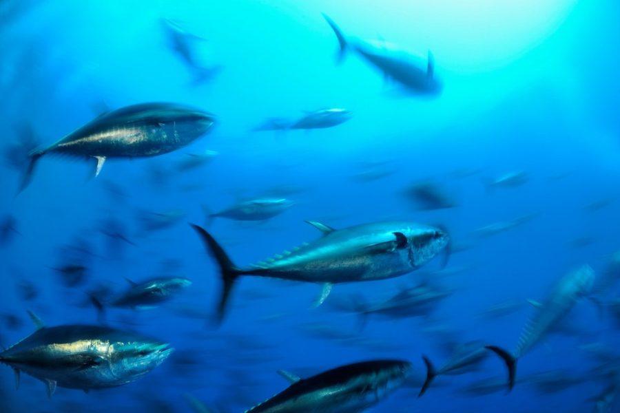 La scomoda verità sulla sostenibilità del tonno rosso